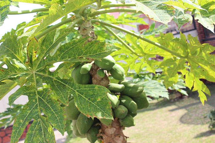 Avocado Tree Rwanda